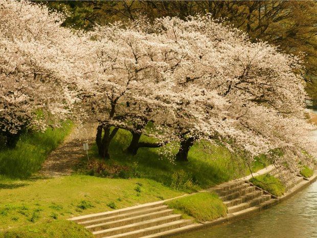 cherry-blossom-