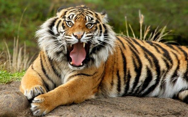 sumatran_dangerous_tiger-wide